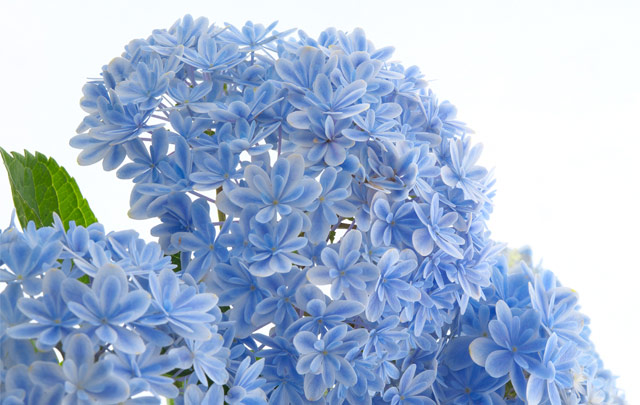 紫陽花(万華鏡)