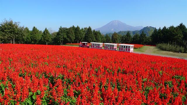 秋に園内を真っ赤に染めあげるサルビア