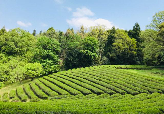 『藤原茶問屋』の有機栽培茶園