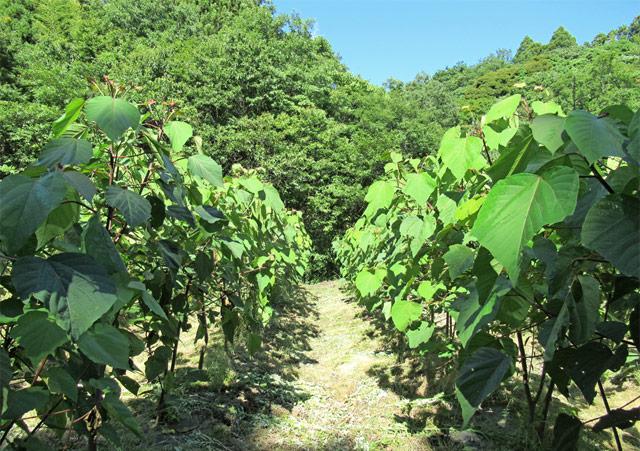 無農薬・無肥料で育てられているので安心・安全!