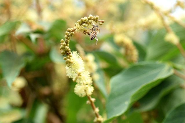 アカメガシワの花には、ミツバチがたくさん集う